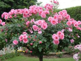 Dicas para plantar roseiras