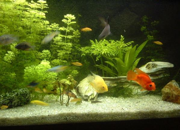 Peixes de água doce - a escolha ideal para um mini-oceano