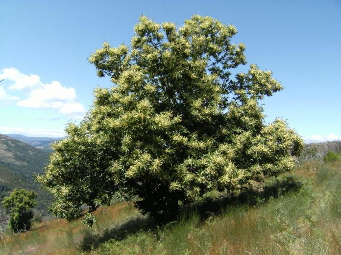 Castanhas, o fruto do castanheiro