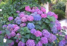 Hortênsias de jardim