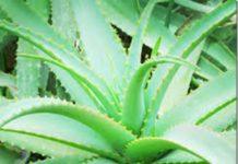 Como plantar Aloé Vera - uma planta de excelente propriedades