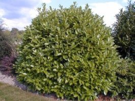 Loureiro - Árvore de folha persistente para um jardim mais bonito!