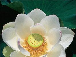 Florir em Maio: saiba quais são as plantas Ideais Flor de lotus