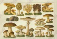 Cogumelos comestiveis