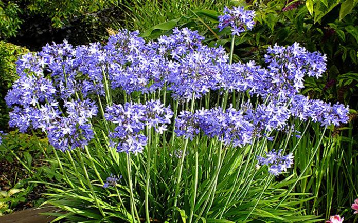 A resistência ao frio varia de planta para planta - agapanthus