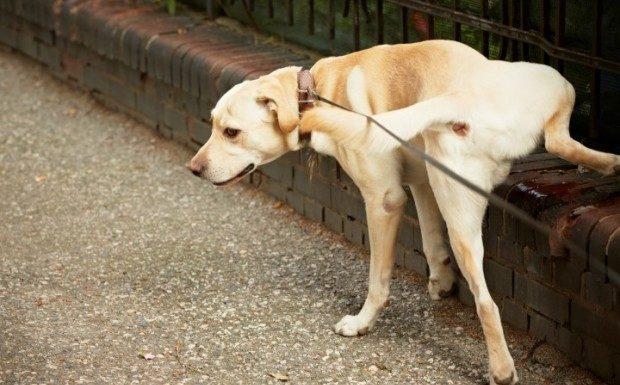 Como ensinar o seu cão a ser limpo
