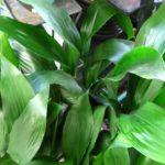 Como plantar a aspidistra