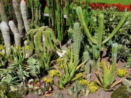 Plantar cactos no jardim ou em vasos: todos os segredos