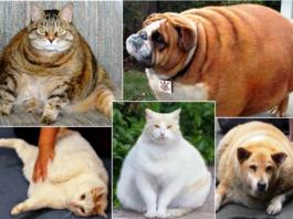 Obesidade animal