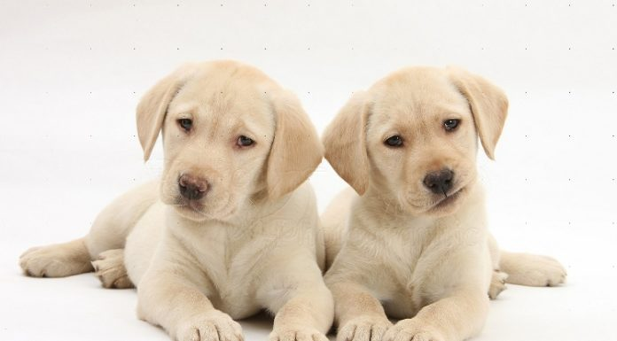 Labrador Retriever: o cão nadador