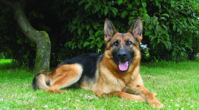 Pastor Alemão: o cão de guarda