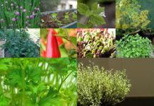 O prazer das ervas aromáticas