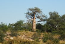 Baobá ou a árvore dos mil anos