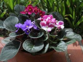 Como cuidar das violetas africanas