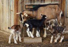 Significado de Sonhar com cabras