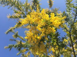 A flor da Acácia amarela