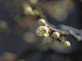 Abrunheiro em flor