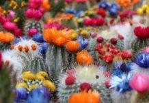 Cactos plantas para atrair energia positiva para a sua casa