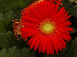 Flor Boca-de-leão