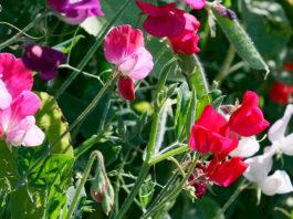 Flor de ervilha