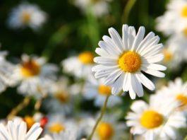 A flor margarida