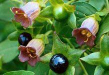 Planta medicinal - beladona