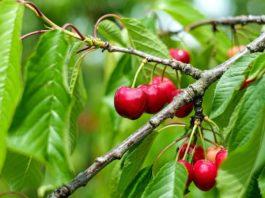 Beneficios do consumo da cereja