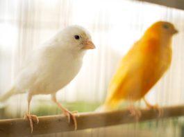 Canário, o belo canto das aves