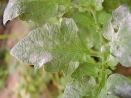 Doenças das plantas - oidio
