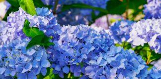 Hortênsia, a flor que dá cor aos dias quentes