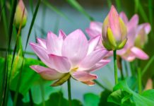 Plantar na primavera - lirio