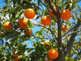 Cuidar das árvores de fruto - laranjeira