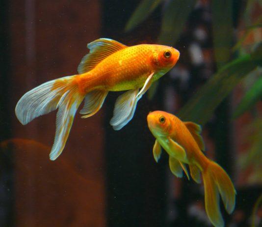 Como alimentar peixes de aquário