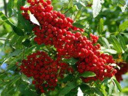 Como podar árvores de fruto