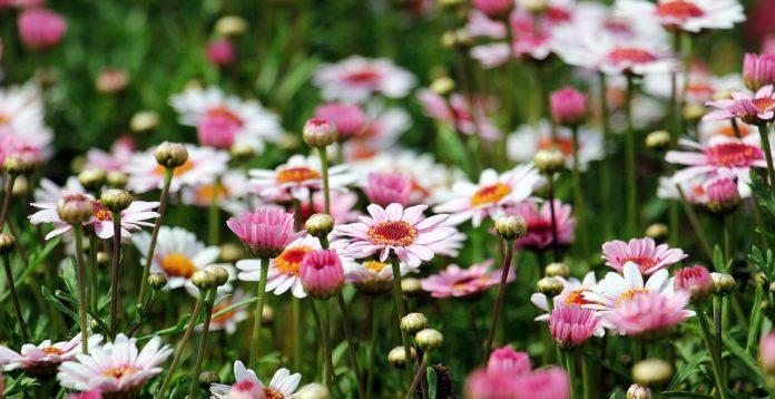 A flor mais bela do jardim, a margarida