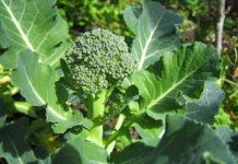 Como plantar brócolos ou brócolis