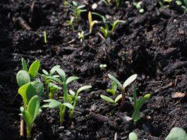 Como preparar a sementeira
