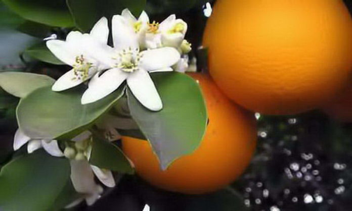 Flor de laranjeira, as flores das noivas