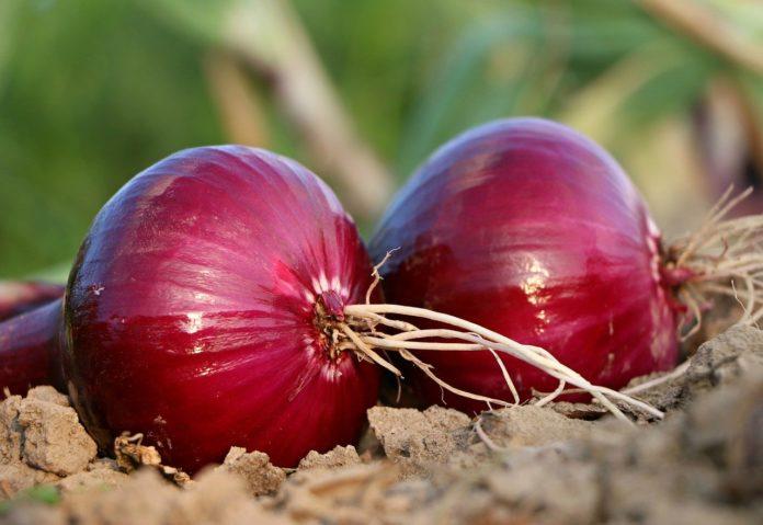 Plantar cebola roxa