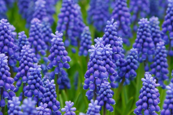 Aprenda a identificar as plantas herbáceas - jacinto