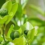 Óleo essencial de Petitgrain, benefícios e aplicações