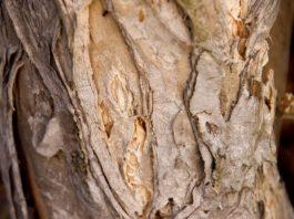 Óleo de malaleuca - árvore do chá ou tea tree