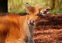 A doença da BSE, um perigo na carne de vaca