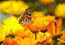 As borboletas no jardim