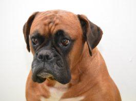 Boxer, o animal preferido das crianças