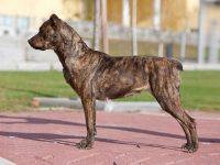 Cão da Fila de S.Miguel