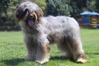 Cão de Serra de Aires
