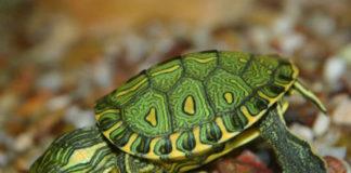 Conheça melhor a tartaruga verde