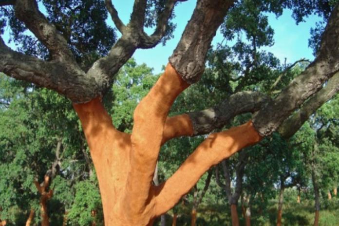Cortiça – Da árvore aos produtos finais