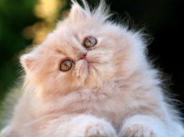 Gato persa, o animal mais popular do mundo